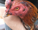 Zoonosis Brown rescató a 60 gallos de riña tras operativo de la Provincia